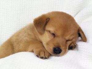 Обои с щенками на ваш десктоп|Wallpapers with dogs for Windows 7