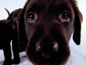 Обои с щенками на ваш десктоп Wallpapers with dogs for Windows 7